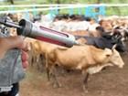 Índice de vacinação contra a febre aftosa é de quase 100% no Marajó