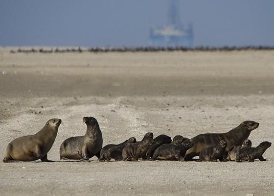 Mães e filhotes de lobos-marinhos cruzam a península da Ponta do Pelicano, indo da praia do oceano até as margens da Baía Walvis. Ao fundo, mais lobos-marinhos e uma plataforma de petróleo em manutenção  (Foto: © Haroldo Castro/ÉPOCA)