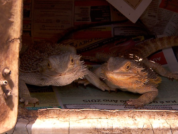 Animais silvestres e exóticos são apreendidos em casa na capital mineira (Foto: Reprodução/TV Globo)