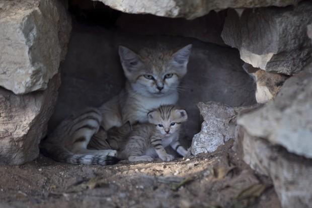Fêmea Rotem ao lado de seus fihotes: gatos-do-deserto tornaram-se raros na região (Foto:  Reuters/Baz Ratner)