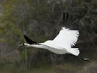 Seca no Sul dos EUA ameaça dieta de ave sob risco de extinção