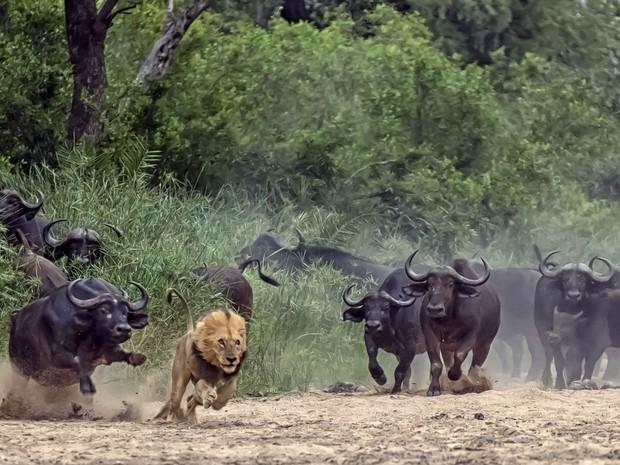 Um sul-africano flagrou uma cena impressionante durante um passeio no Parque Nacional de Kruger, na África do Sul. Dave Woollacott, de Joanesburgo, flagrou o momento em que um leão executa um ataque frustrado a um grupo de búfalos, e acaba sendo afugentado em disparada (Foto:  Dave Woollacott/Caters News)