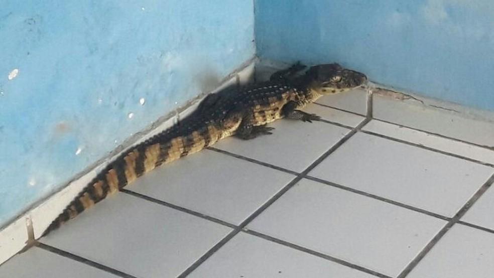 Filhote de jacaré foi resgatado e solto em área de preservação  (Foto: Divulgação/Prefeitura de São Gonçalo do Amarante )