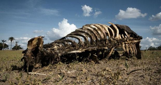 Carcaça de gado em sítio atingido pela seca em Iaçu (Foto: Flavio Forner/BBC)