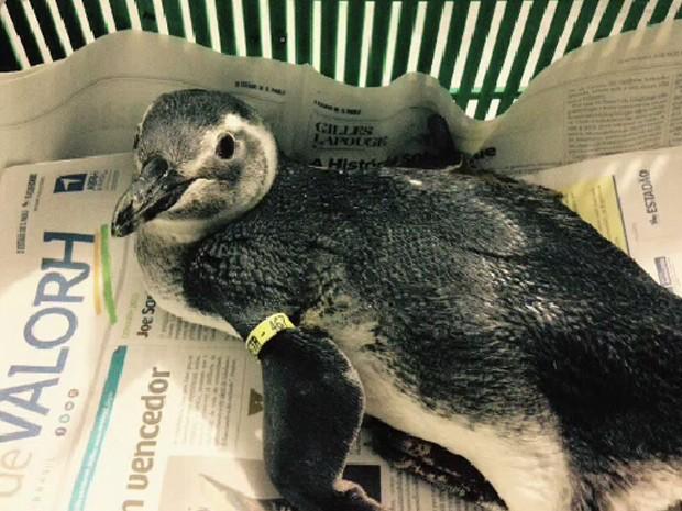 Pinguins chamam atenção no litoral norte de São Paulo (Foto: Divulgação/ Instituto Argonauta)