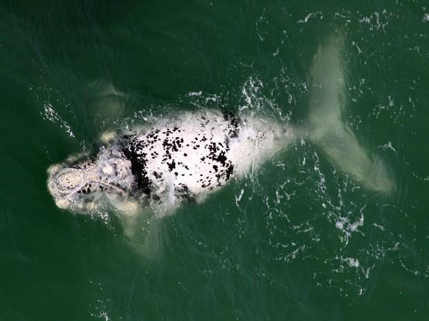 Filhote de baleia semi-albino foi registrado no Litoral de SC (Foto: Paulo Flores/CMA/ICMBio)