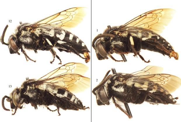 Abelhas machos (acima) e fêmeas (abaixo) das espécies 'Thyreus denolii' (à esquerda) e 'Thyreus batelkai' (Foto: Reprodução/ZooKeys)