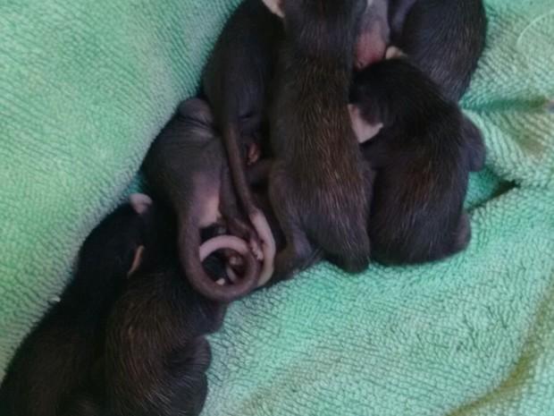 Nesta semana, foram resgatados, ao todo, 13 gambás. (Foto: Divulgação / Guarda Municipal do Rio de Janeiro)