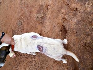 Cão foi atingido por tiros em Naviraí, MS (Foto: Divulgação/PMA)