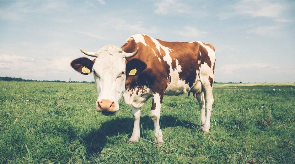 vaca (Foto: Pexels)