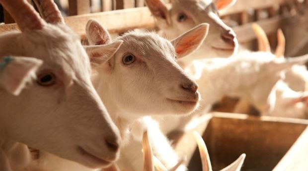 Cabras do Capril do Bosque (Foto: Divulgação/Johnny Mazzilli/Capril do bosque)