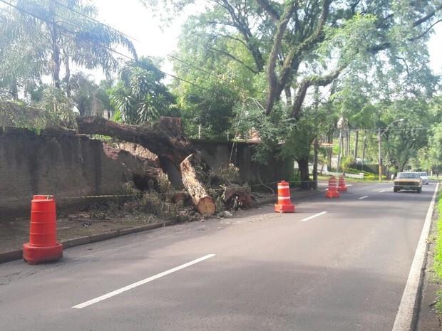 Árvore cai_avenida Presidente Kennedy_Piracicaba (Foto: Juliana Franco/G1 Piracicaba)