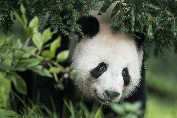 Somente o macho Tian Tian pode ser visto pelos visitantes, enquanto a fêmea repousa. (Foto: AFP Photo/Brendan Smialowski)
