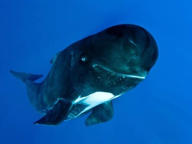 Em 2010, o biólogo marinho britânico Rory Moore  fotografou um grupo de baleias-piloto no estreito de Gibraltar, próximo ao mar Mediterrâneo, e uma delas parecia sorrir para a câmera (Foto: Rory Moore/Barcroft Media/Getty Images)