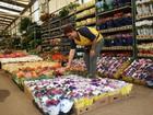 Ceasa prevê aumento de até 30% na venda de crisântemo no Dia dos Pais