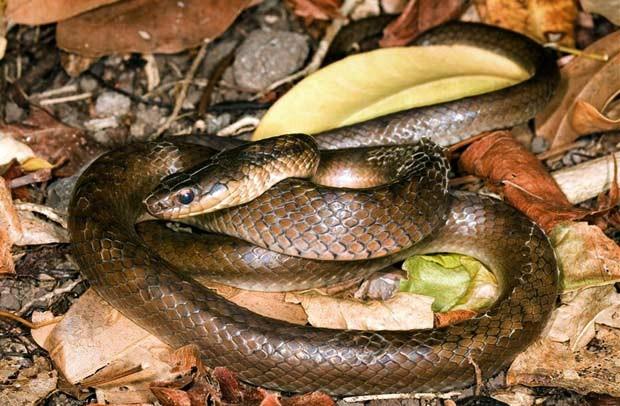 Apenas 11 exemplares desta cobra foram encontrados pelos pesquisadores.  (Foto: AP)