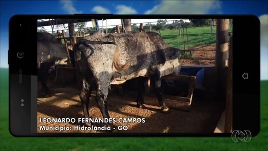 Vaca que tem deficiência no pescoço leva vida normal em fazenda; vídeo