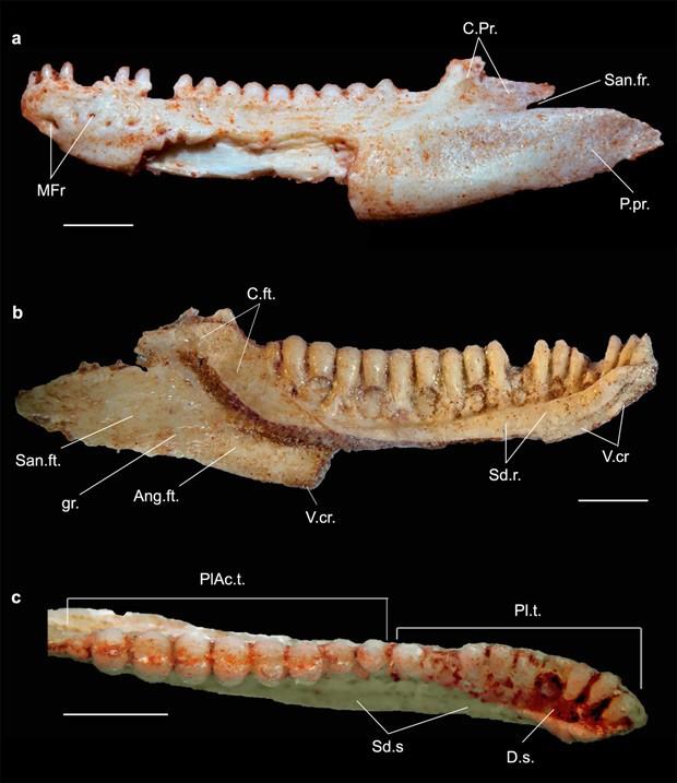 Fósseis que levaram à descoberta de espécie Gueragama sulamericana foram encontrados em Cruzeiro do Oeste  (Foto: Tiago Simoes e Adriano Kury/Divulgação)