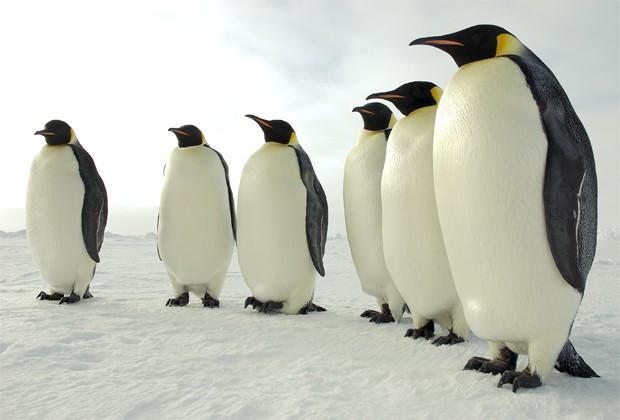 Pinguins imperadores na Antártica (Foto: Divulgação/U.S. Antarctic Program/National Science Foundation)