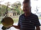 Agricultor colhe laranja de 3 kg em fazenda no interior da Bahia