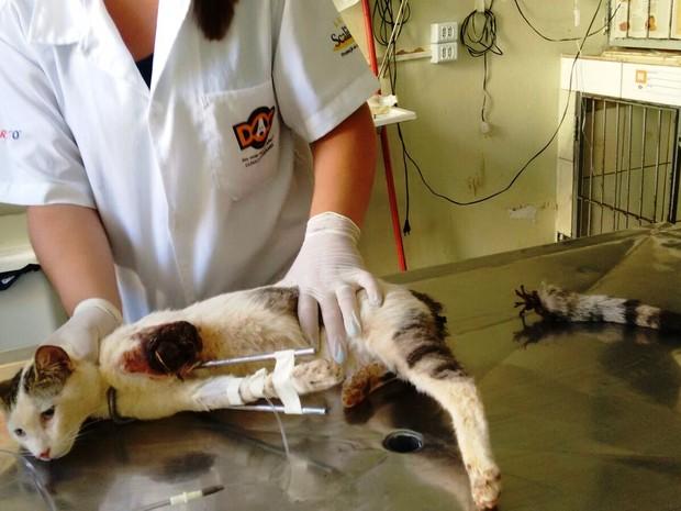 Gato está na clínica veterinária desde a segunda-feira (28) (Foto: Valquíria Fonseca)