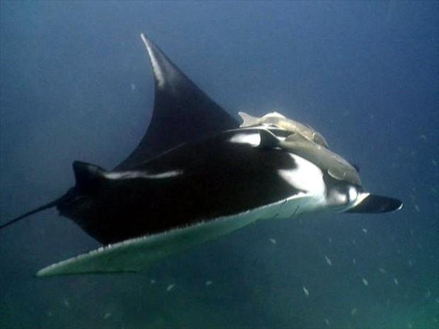 Habita águas oceânicas, inclusive as ilhas costeiras durante o verão (Foto: Arquivo TG)