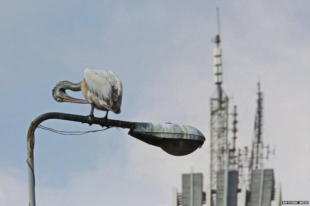 Um pelicano cinza aparece em frente ao horizonte formado por prédiso na imagem feita por Antoine Weis, vencedora da categoria 'Natureza e vida selvagem' (Foto: Antoine Weis)