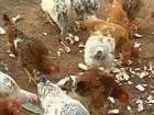 Cabeça de galinha caipira é vendida por R$ 19,11 em Rondônia, diz Emater