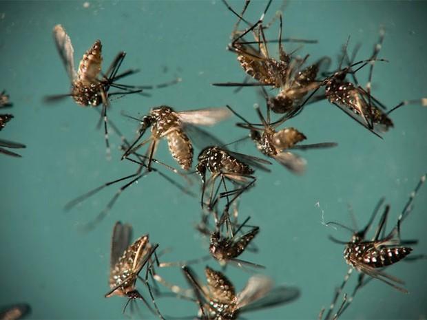 Mosquito Aedes aegypti é responsável pela transmissão de dengue, zika e chikungunya (Foto: Felipe Dana/Arquivo/AP Photo)