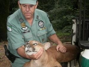 De acordo com a Polícia Ambiental, o animal que atacou a senhora é semelhante ao da foto capturado em novembro de 2011, em Corbélia (PR) (Foto: Divulgação/ Polícia Ambiental)