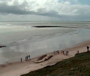 Baleia morta atrai curiosos na praia de Caraúbas, litoral Norte potiguar (Foto: Reprodução/Inter TV Cabugi)