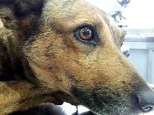 Cadela ferida por bomba deve receber alta na terça-feira, em Campinas (Foto: Fernando Pacífico / G1 Campinas)