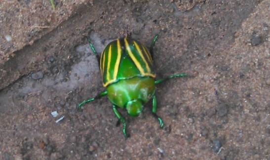 Besouro verde-e-amarelo é comum, diz especialista (Fot Elisnaudo Carvalho/VC no G1)