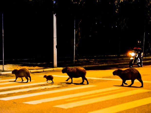 Quatro Capivaras atravessam faixa de pedestre no estilo Beatle