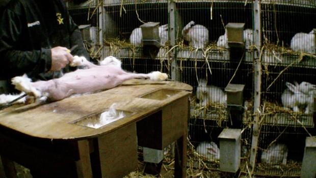 Imagens mostram coelhos que são 'depilados' para que seus pelos sedosos sejam utilizados na indústria têxtil e da moda (Foto: One Voice/AFP)