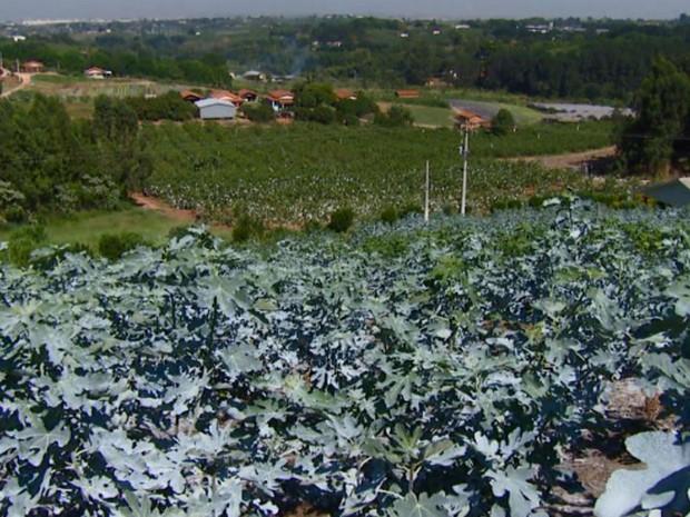Produção de figo roxo em Valinhos (SP) (Foto: reprodução/EPTV)