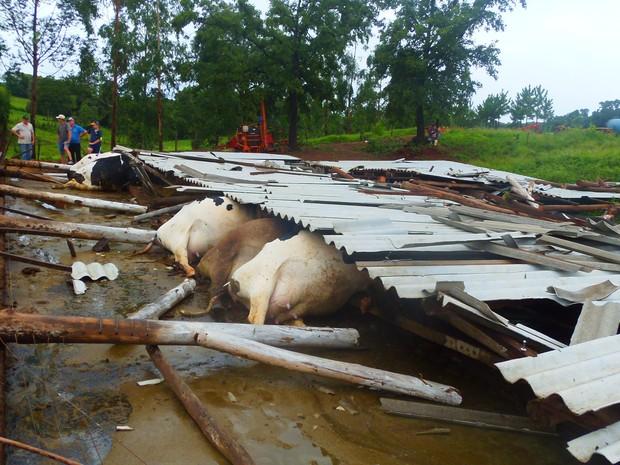 Dezesseis vacas leiteiras morreram em Santo Cristo, no RS. (Foto: Jaqueline Dierigns/ Cresol Santo Cristo)