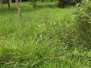 Reflorestamento deve evitar o crescimento de braquiária (Foto: Marlon Tavoni/ EPTV)