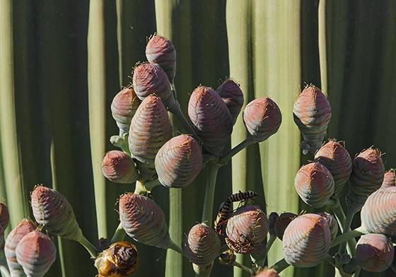 Os cones femininos possuem uma coloração azulada na base e são ovalados  (Foto: © Haroldo Castro/ÉPOCA)