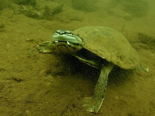 Tartaruga no fundo do Lago Paranoá (Foto: Beto Barata/Divulgação)
