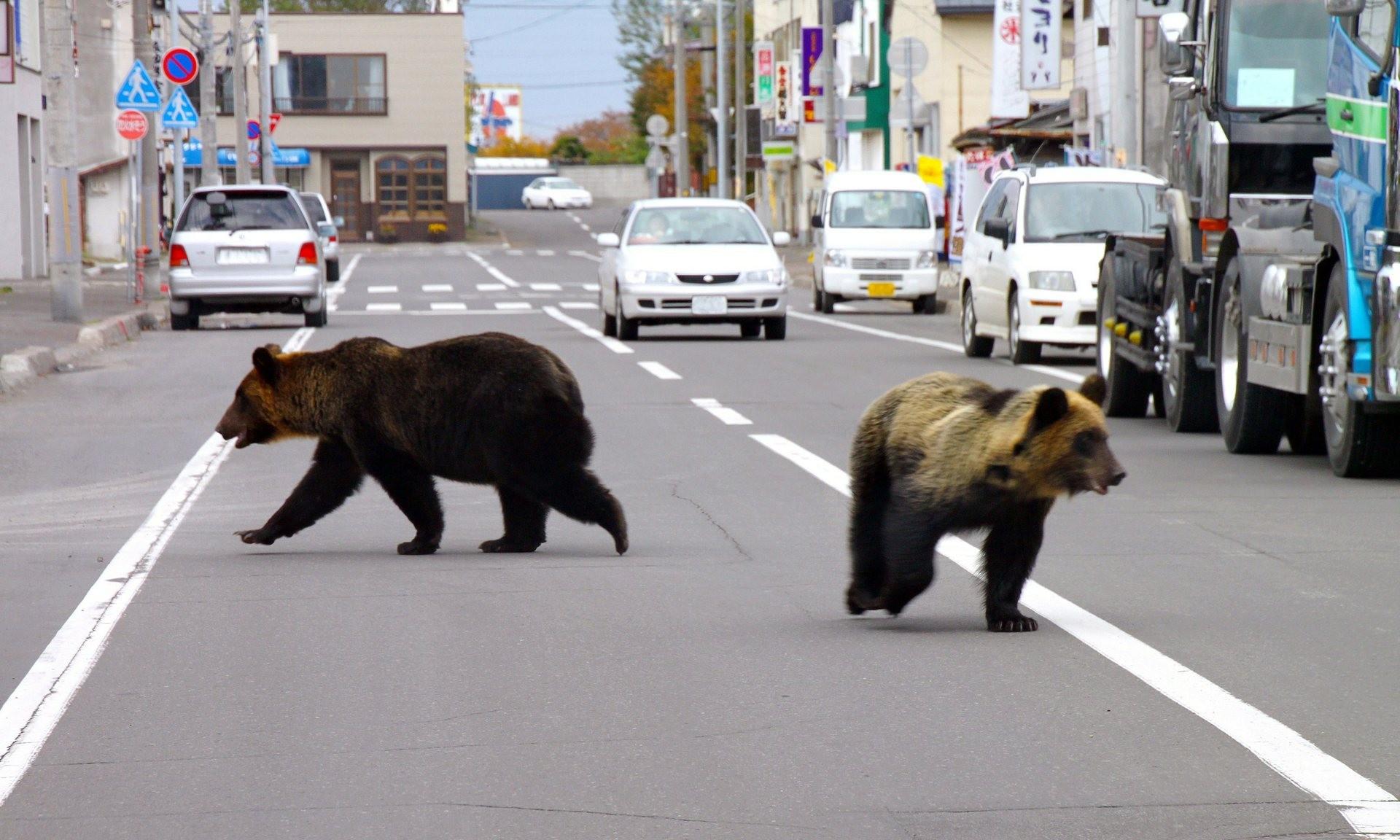 No início deste ano, dois ursos caminharam pelas ruas da cidade de Shari, no Japão (Foto: Divulgação)