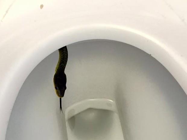 Cobra em privada assustou frequentadores de um pub em Palmview (Foto: Reprodução/Facebook/Sunshine Coast Snake Catchers 24/7)