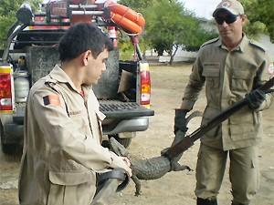 Animal resgatado foi levado para sede do Ibama (Foto: Divulgação/2ºBBM)