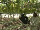Gás ozônio ajuda produtores de PE a prolongar a qualidade das frutas