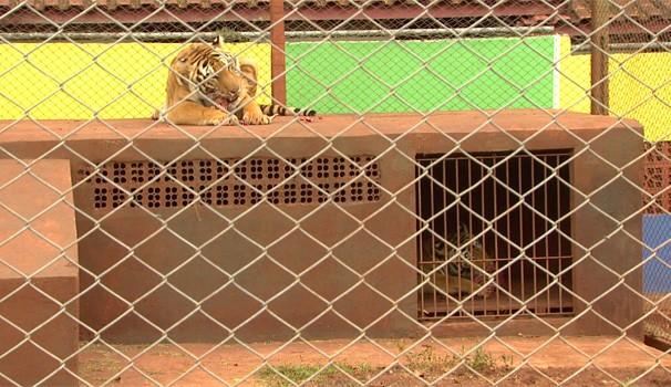 Os irmãos felinos chegaram ao zoológico de Dois Vizinhos (Foto: Reprodução/RPC TV)