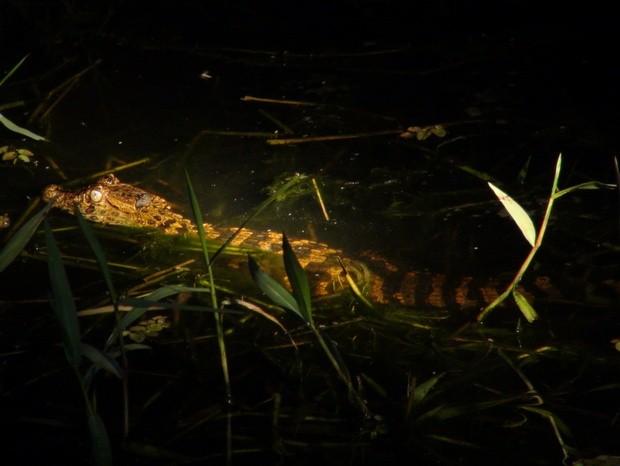 Jacaré é uma das espécies que sumiriam em inundação - Piracicaba (Foto: Thomaz Fernandes/G1)