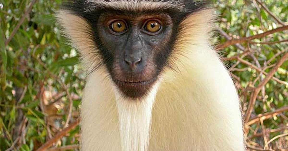 Mais da metade dos primatas do mundo está sob risco de extinção