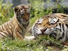 Costume chinês pode incentivar caça ilegal de tigres, afirmam especialistas
