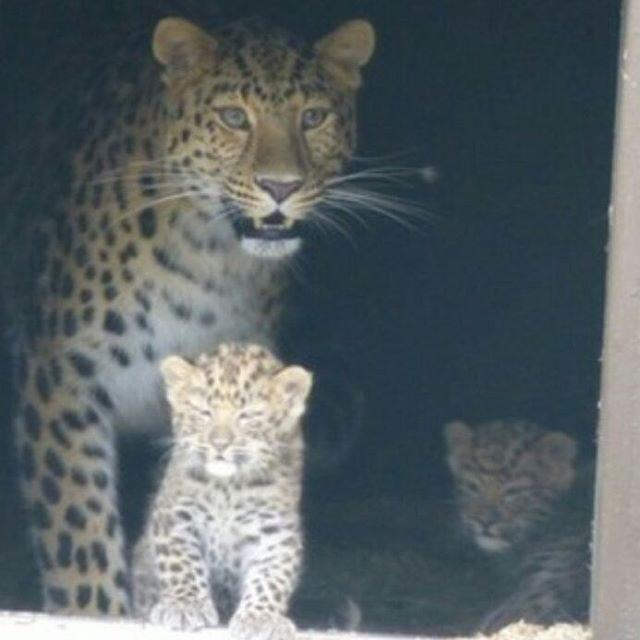 Leopardos raros (Foto: Reprodução/Instagram)