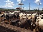 Fazendeiro é preso com 192 cabeças de gado furtadas de fazendas de MT